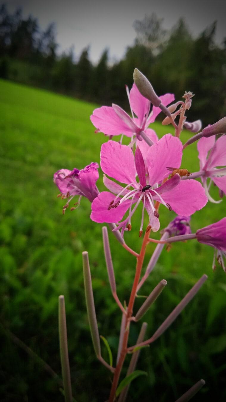 pinkish, petals, wildflower, wildlife, flower, nature, spring, bloom, garden, pink