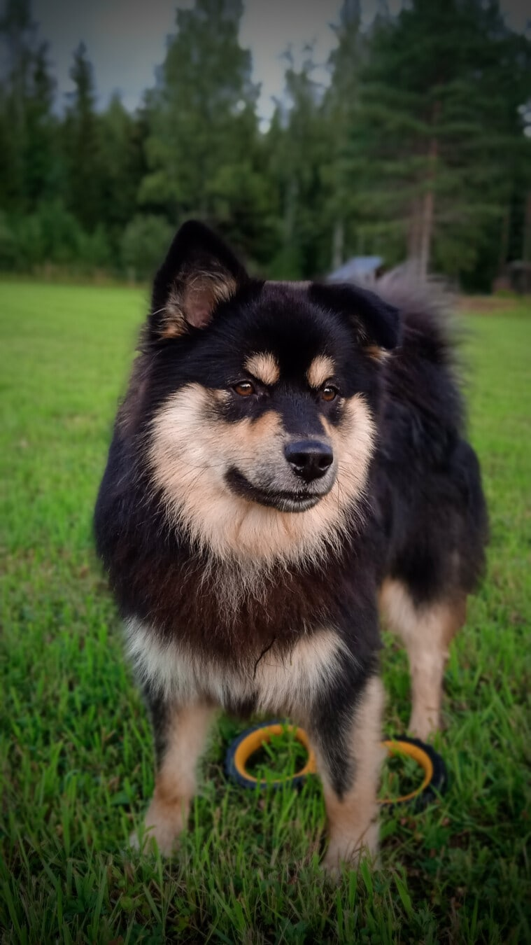 sled dog, dog, animal, portrait, pet, fur, canine, grass, cute, looking