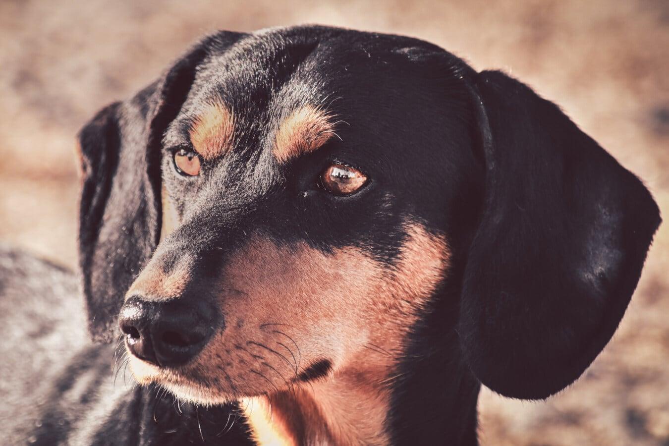de race, tête, portrait, chien, adorable, yeux, noir, canine, chien, mignon