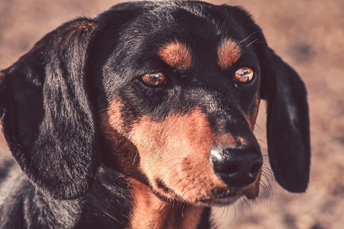 teckel, tête, portrait, de race, chien, nez, yeux, animal de compagnie, animal, mignon