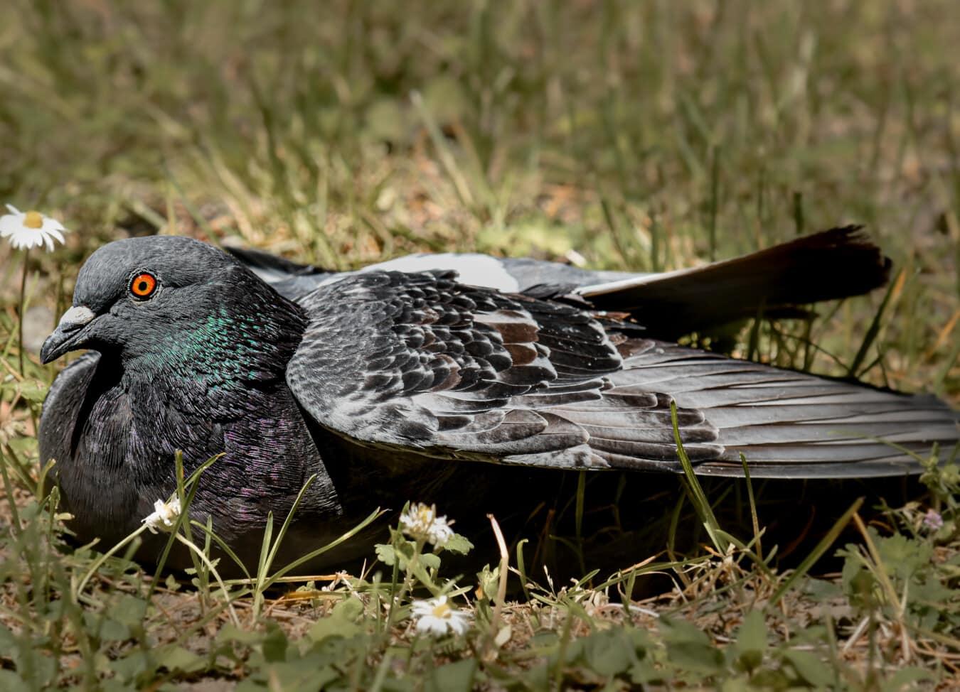 Pigeon, portant, prairie, qui s'étend, oiseau, ailes, sauvage, bec, nature, faune