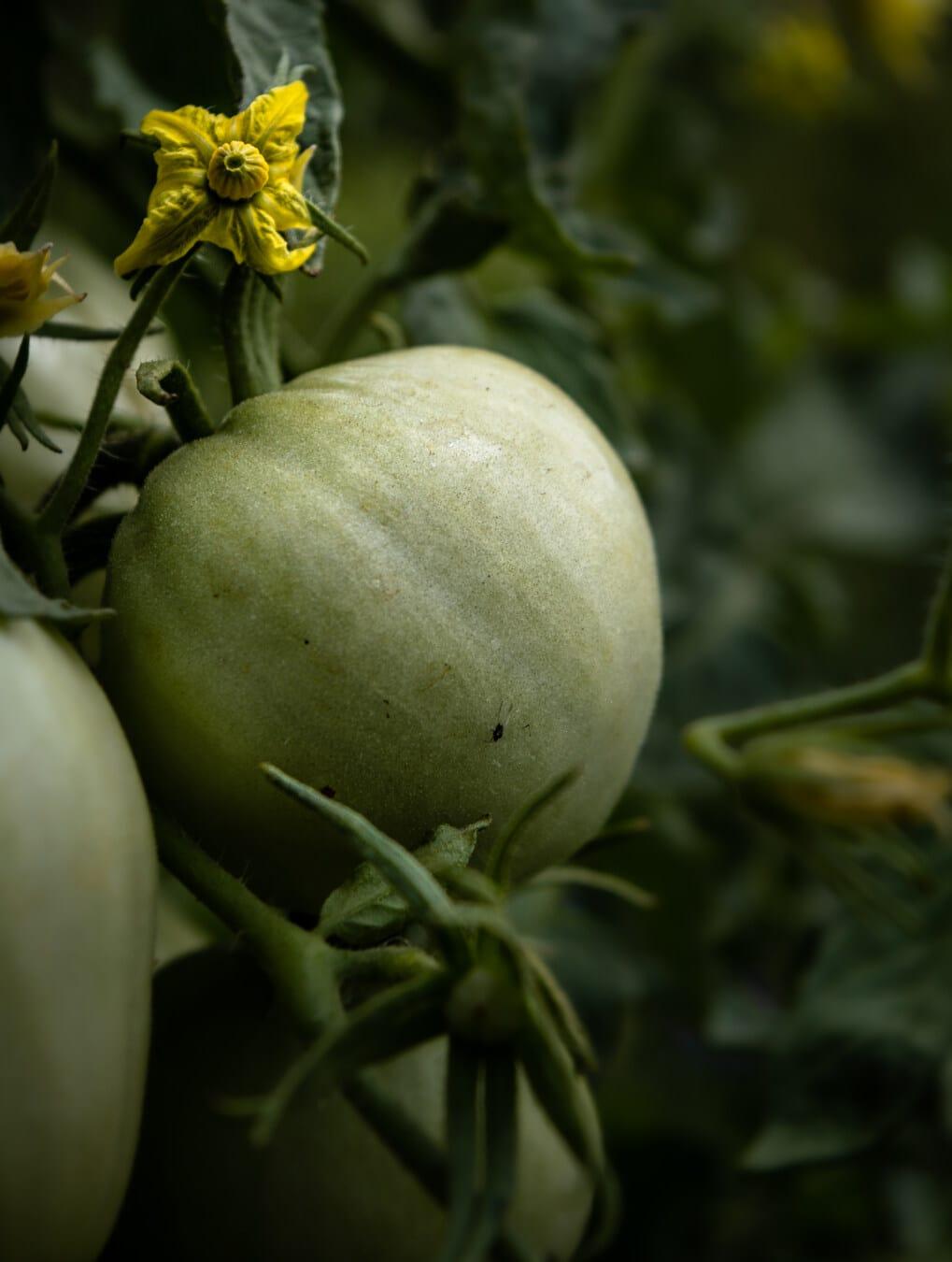 vert, tomates, légumes, organique, Agriculture, jardin, jaune verdâtre, fleurs, feuille, nature