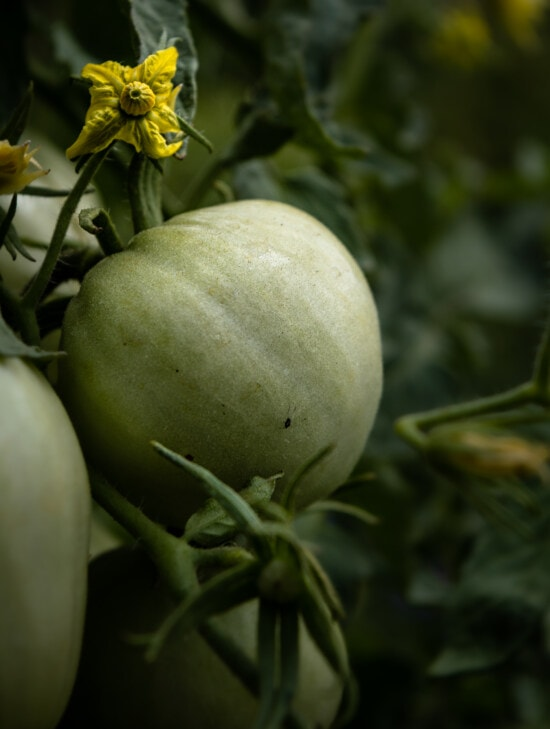 green, tomatoes, vegetables, organic, agriculture, garden, greenish yellow, flowers, leaf, nature