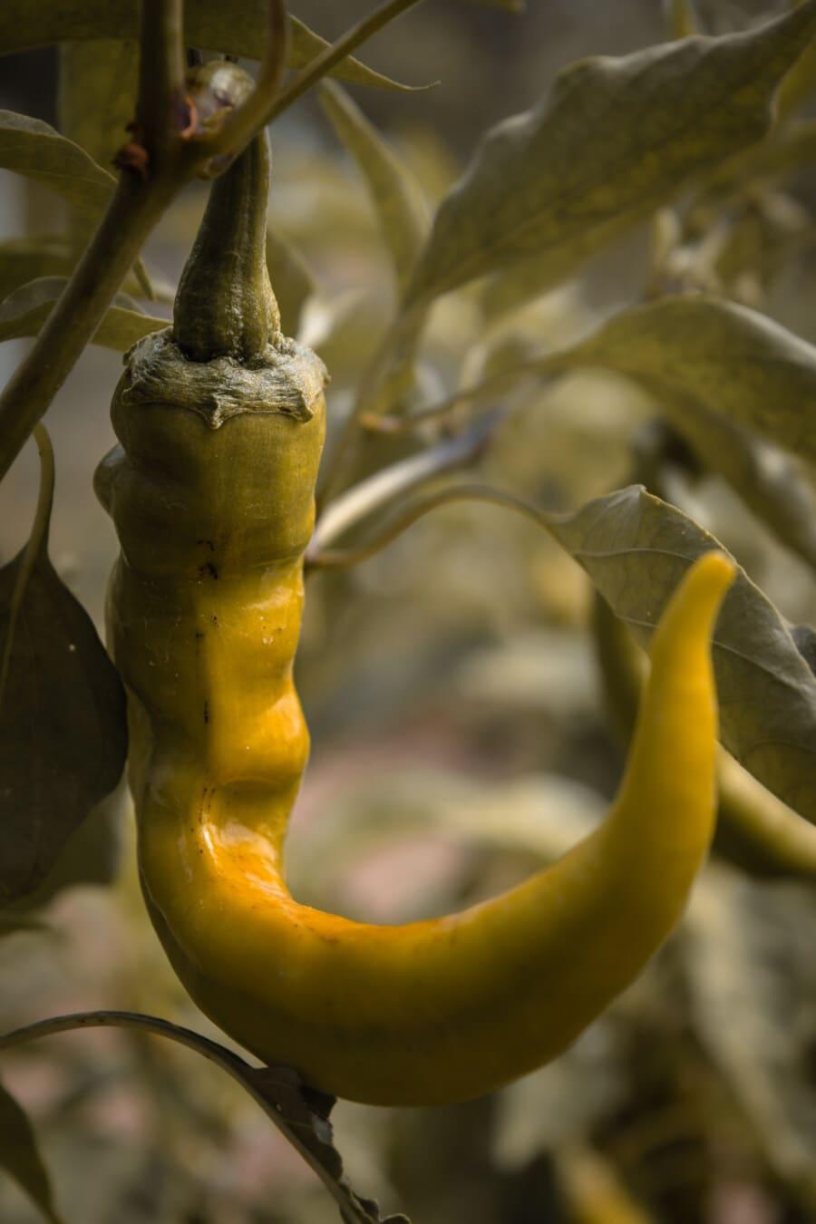 piment, pepperoni, immatures, jaune verdâtre, organique, Agriculture, nature, alimentaire, flore, légume