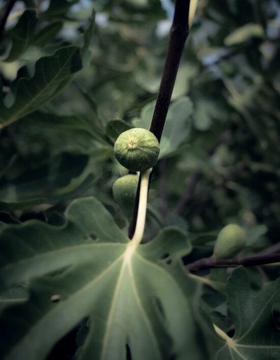 tropische, Obst, Obstbaum, exotisch, grüne Blätter, Anlage, Blatt, Flora, Natur, Farbe