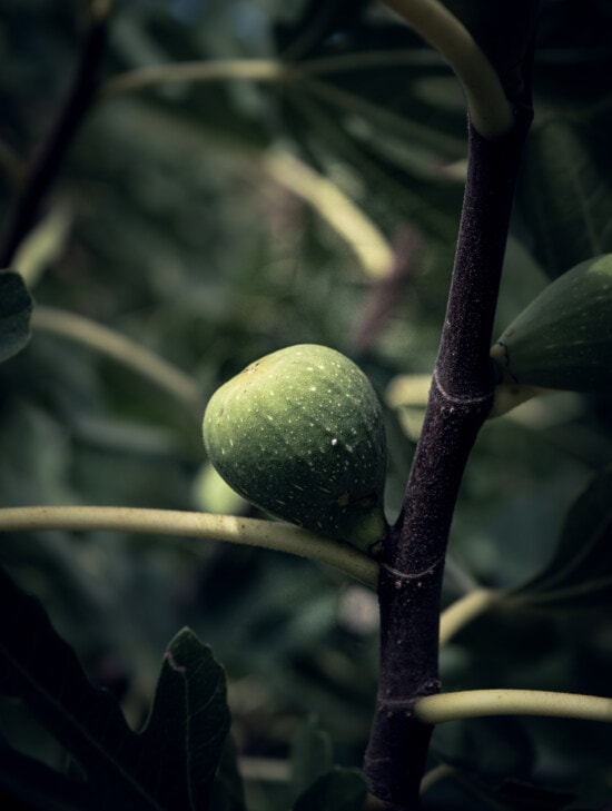 herb, organic, tropical, fig fruit tree, close-up, orchard, plantation, exotic, fruit, branch