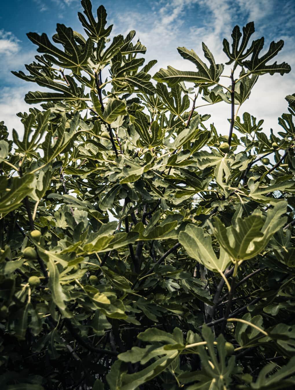 Struktur, tropische, Buchse, exotisch, grüne Blätter, Strauch, Obstbaum, Obstgarten, Plantage, Anlage