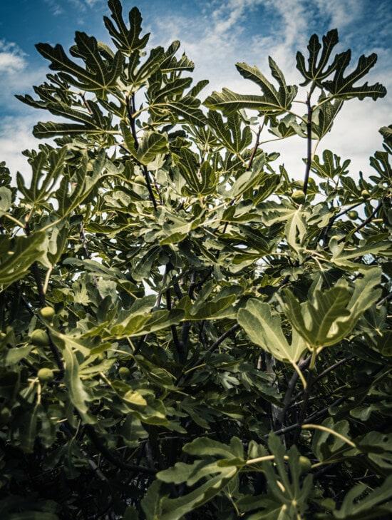 fig tree, tropical, bush, exotic, green leaves, shrub, fruit tree, orchard, plantation, plant