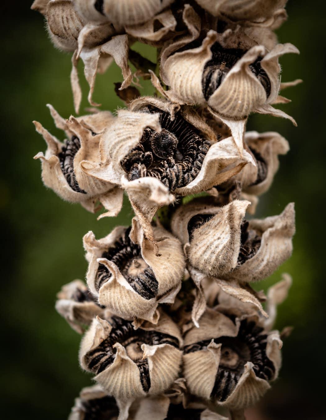 Samen, aus nächster Nähe, Blume, Trockenzeit, Gartenbau, Biologie, Botanik, Anlage, Braun, Detail