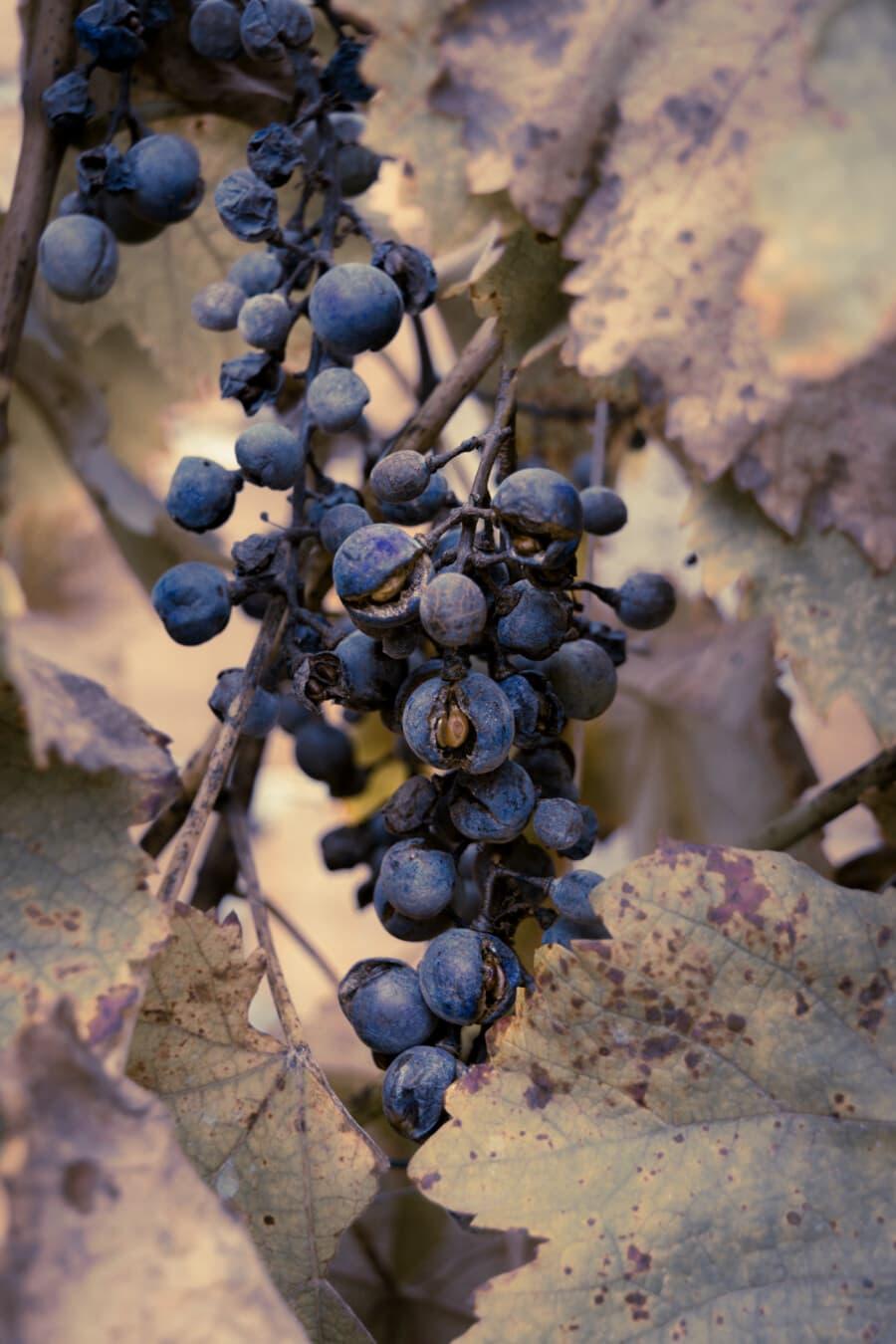 Weinrebe, Trockenzeit, Blau, Obst, Trauben, Landwirtschaft, des ländlichen Raums, Natur, Weingut, Traube