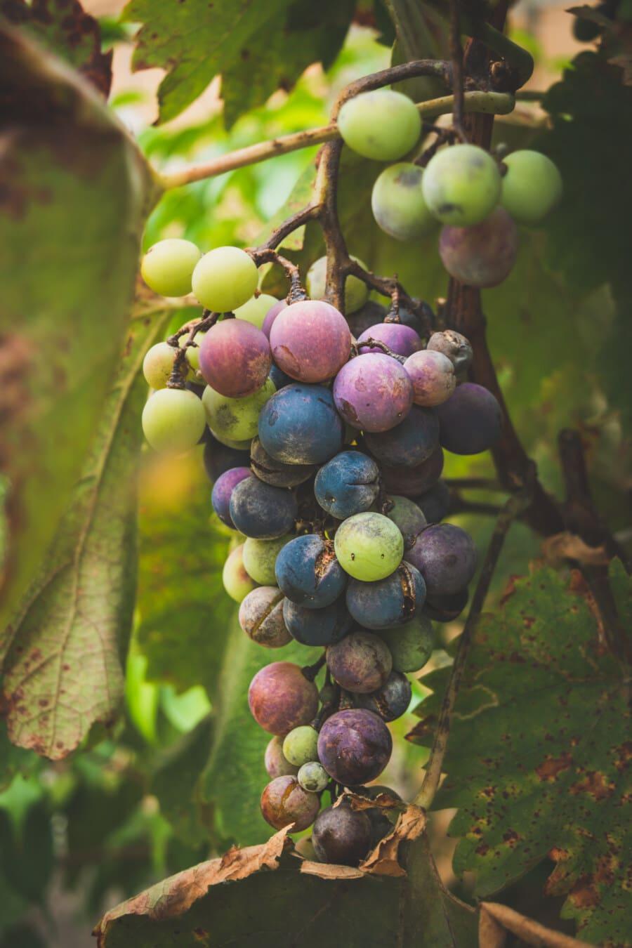 Weinrebe, Trauben, Obstbaum, Obst, Cluster, bunte, des ländlichen Raums, Landwirtschaft, Weinberg, Harvest