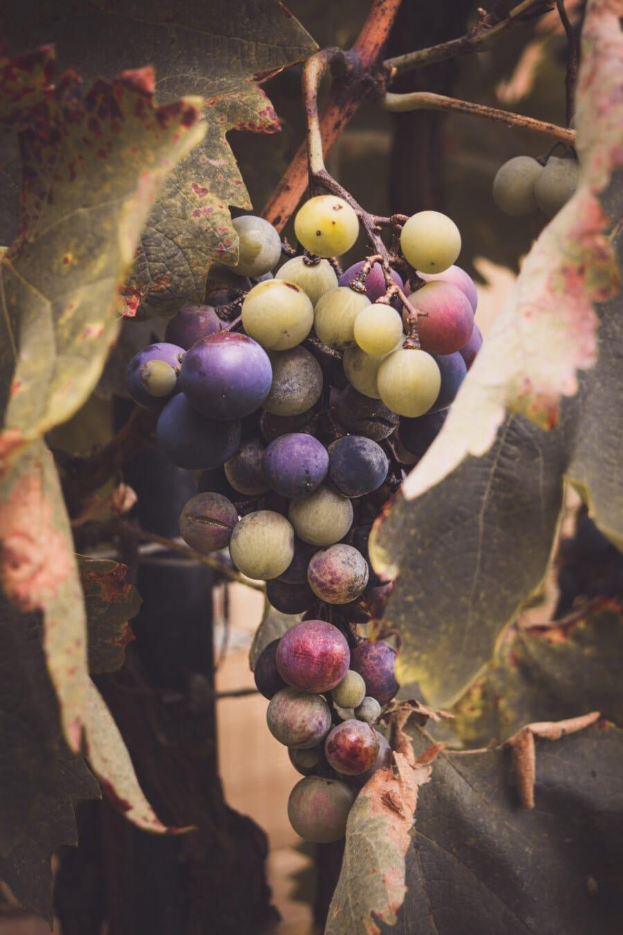 Trauben, Weinrebe, Weinberg, Weinbau, hängende, Obst, Landwirtschaft, Wein, Rebe, Traube