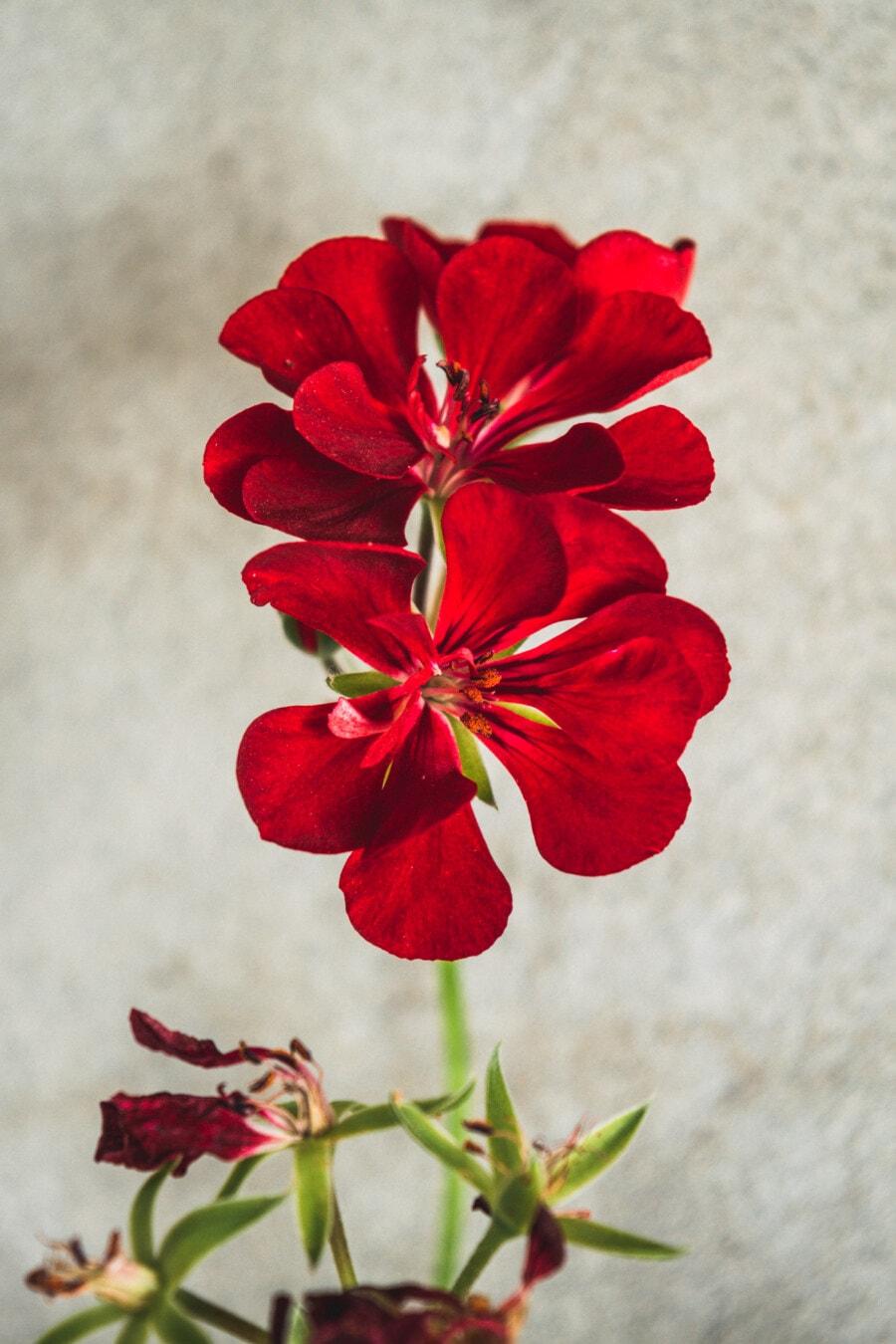 rouge foncé, géranium, pot de fleurs, fleur, horticulture, pétale, flore, plante, herbe, été