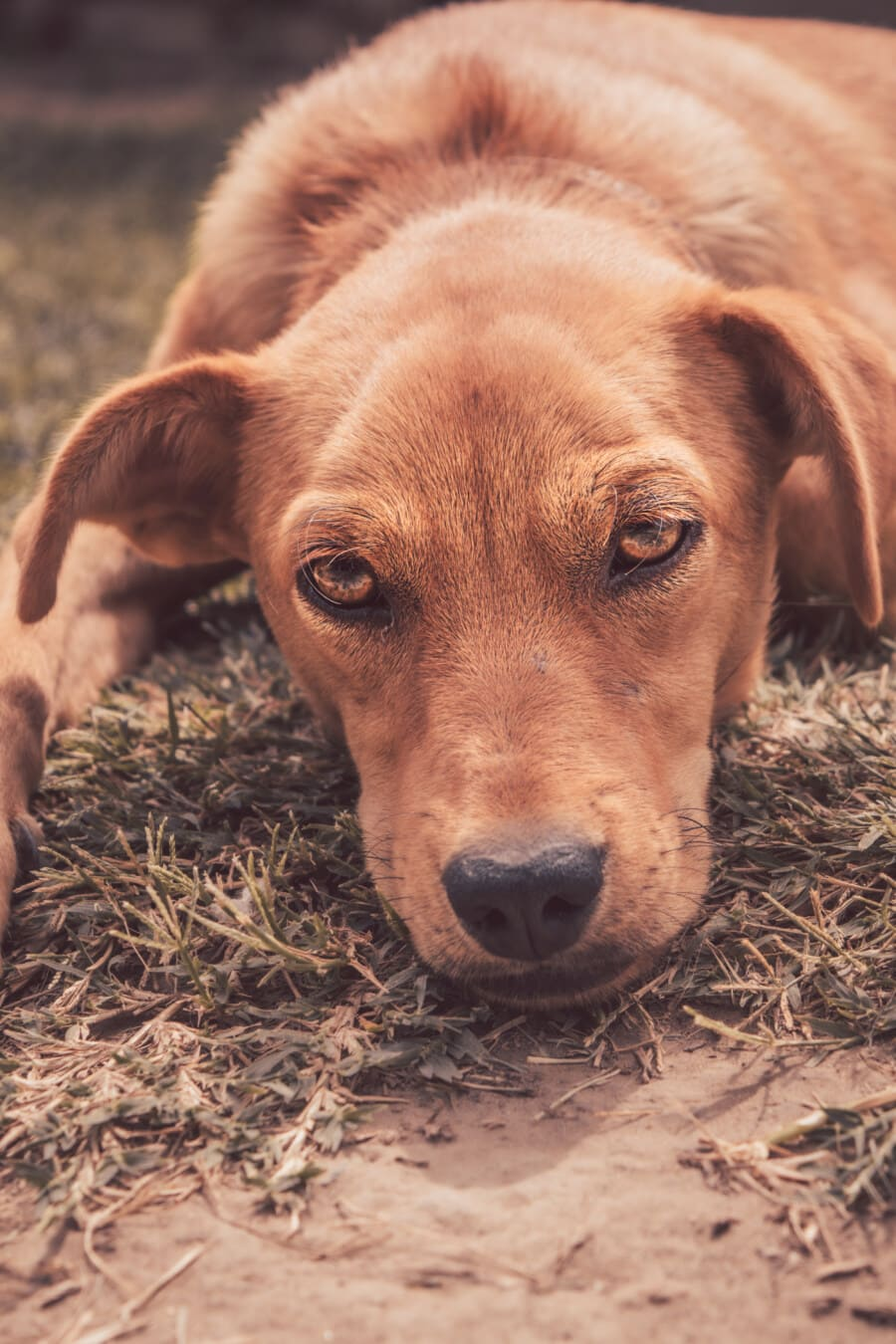 orange yellow, dog, eyes, head, close-up, relaxing, laying, puppy, canine, pet