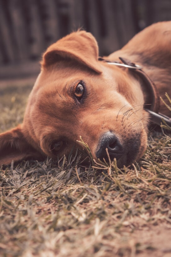 dog, light brown, laying, pet, relaxing, hunting dog, canine, cute, animal, grass