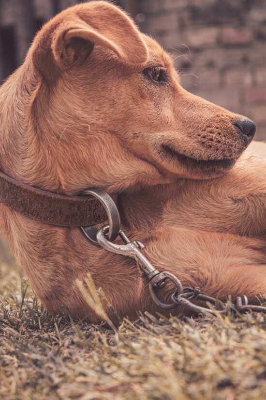 dog, light brown, portrait, side view, chain, collar, cute, young, animal, nature