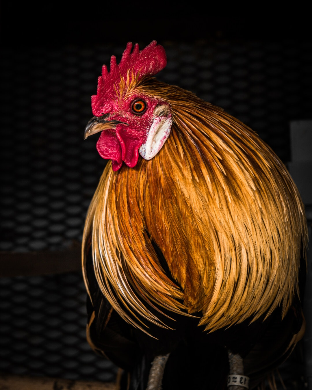 majestic, rooster, crest, head, close-up, chicken, golden glow, orange yellow, feather, bird
