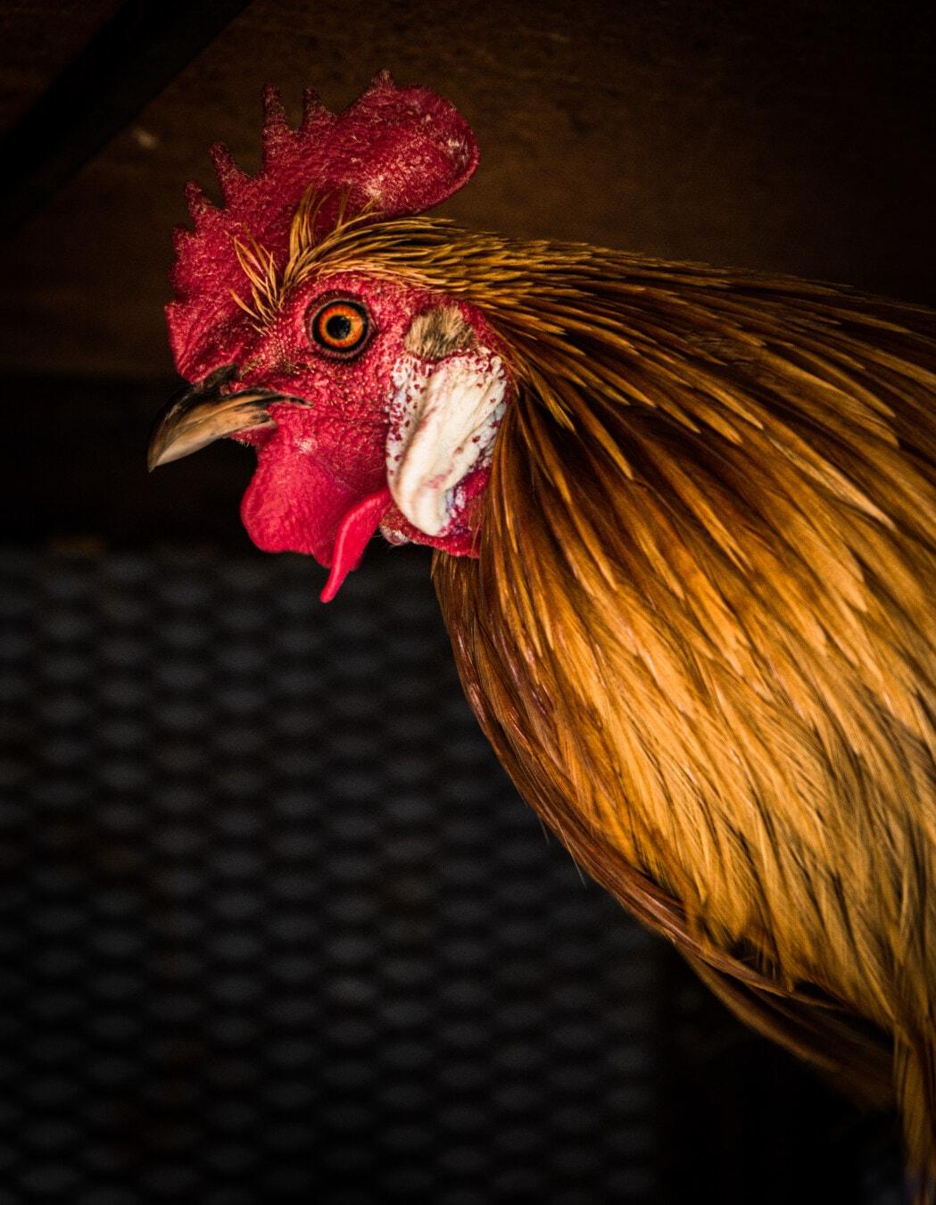 tête, vue de côté, coq, fermer, éclat doré, panache, crête, volaille, animal, poulet