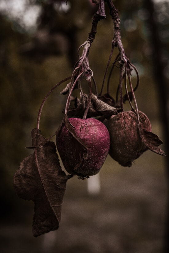 hanging, apples, dry season, apple tree, orchard, organic, agriculture, fruit, nature, apple