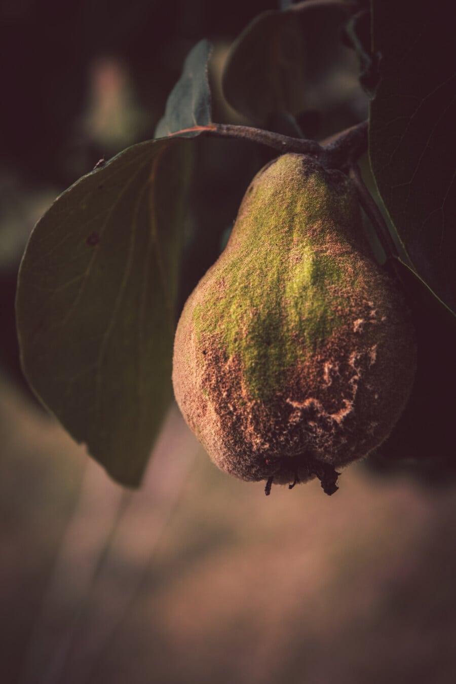 Quitte, Bio, Obst, frisch, Antioxidans, Obstbaum, aus nächster Nähe, Produkte, Blatt, Struktur