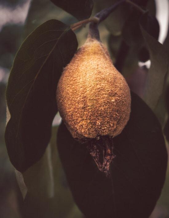 Obstbaum, Quitte, frisch, Obst, Ast, grünlich gelb, grünes Blatt, landwirtschaftlich, Produktion, Natur