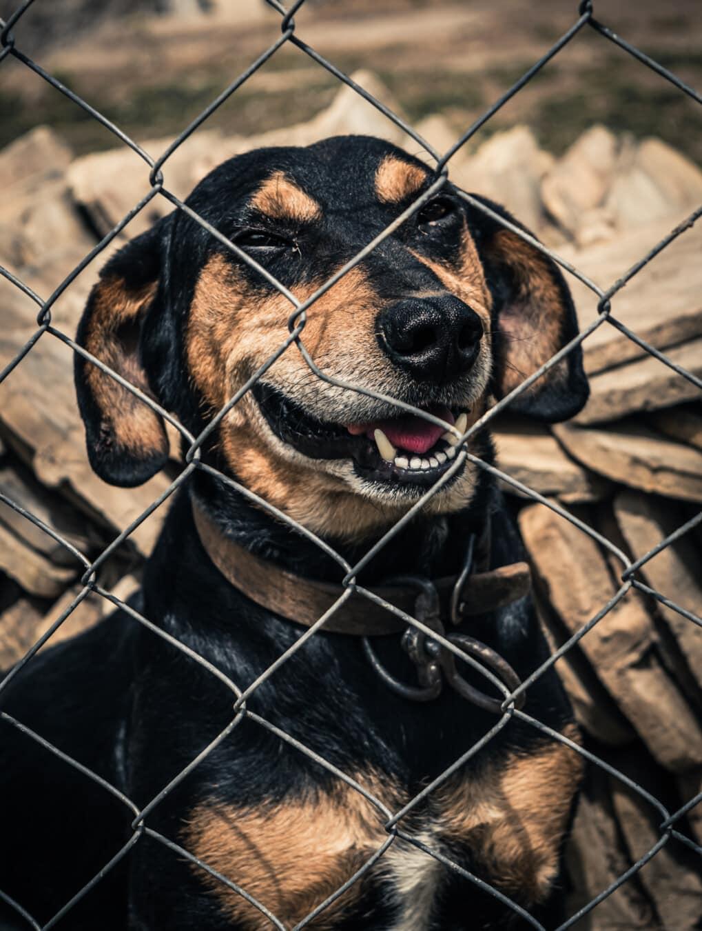 adorable, noir, chien, clôture, tête, langue maternelle, nez, dents, fermer, mignon