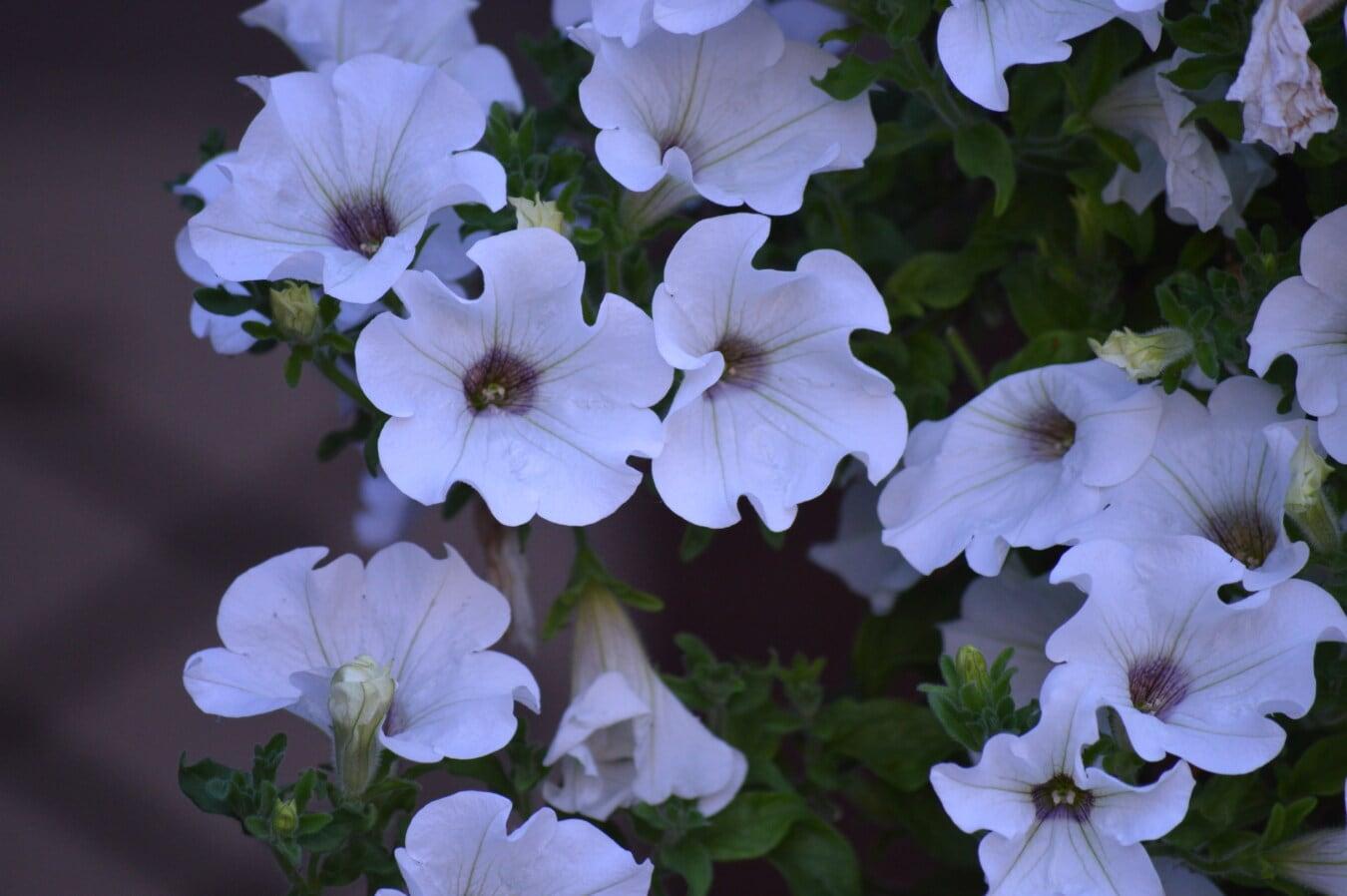 Petunia, weiße Blume, Garten, Blumen, Blatt, Anlage, Natur, Flora, Blume, blühen
