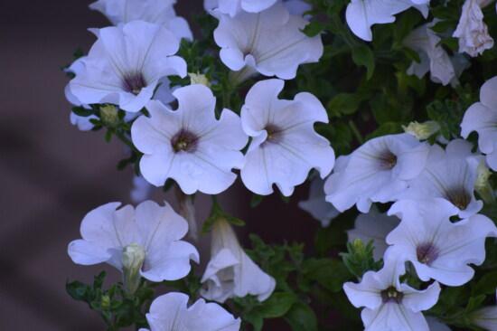 Pétunia, fleur blanche, jardin, fleurs, feuille, plante, nature, flore, fleur, épanouissement
