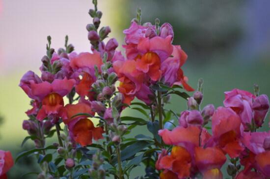 fleurs, Muflier, bouton floral, jaune orangé, rougeâtre, nature, rose, jardin, bouquet, plante