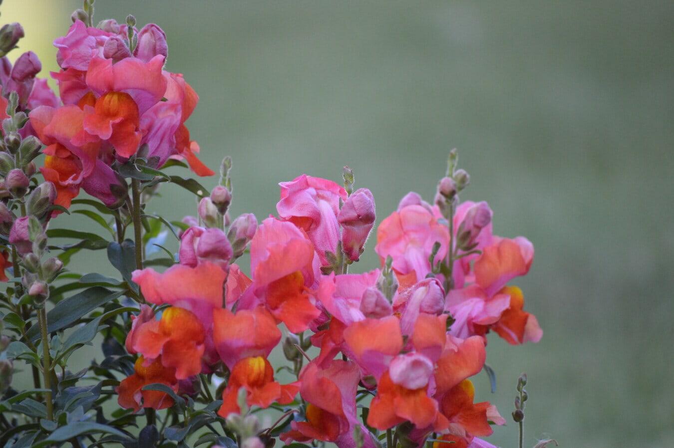 jaune orangé, fleurs, Muflier, rougeâtre, jardin fleuri, fleur, flore, jardin, nature, plante
