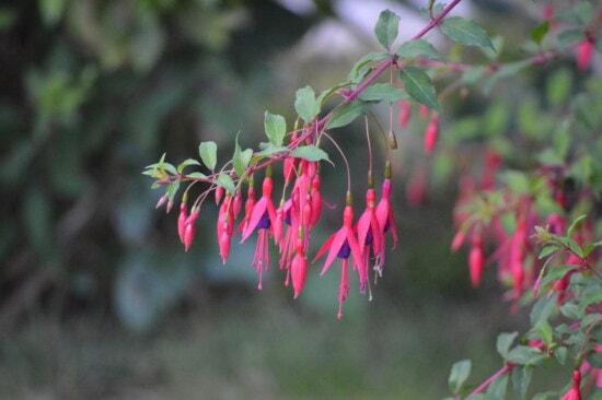 pinkish, flowers, fuchsia, hanging, branch, bush, leaf, shrub, plant, nature