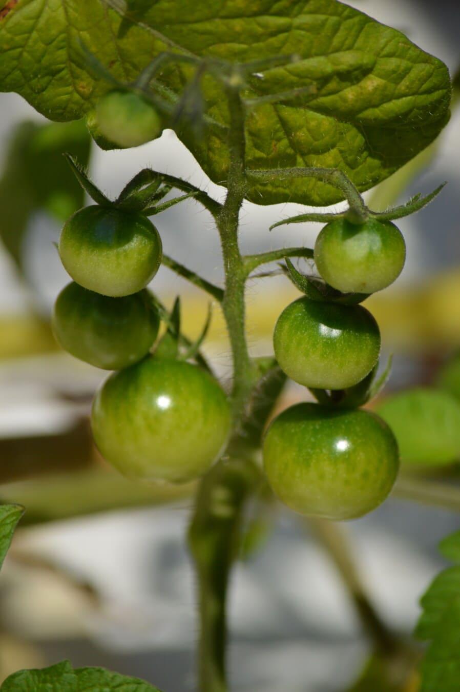 green, unripe, green leaf, tomatoes, miniature, tomato, small, organic, agriculture, nature