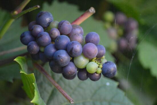 Cluster, Blau, Trauben, Weinberg, Weinrebe, Weinbau, Harvest, Traube, Haufen, Landwirtschaft