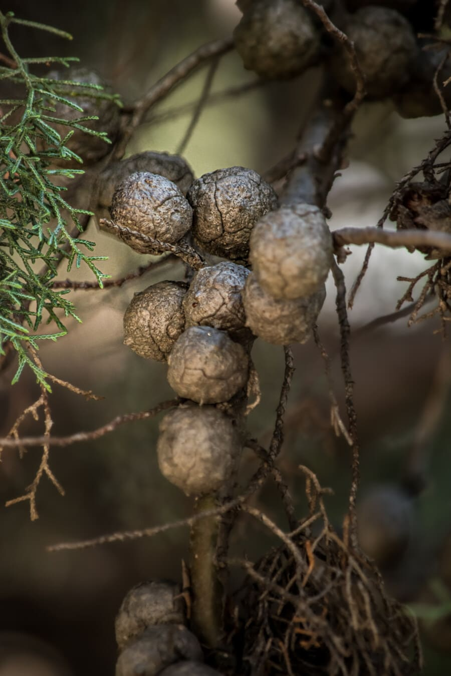 seed, round, conifer, tree, evergreen, close, nature, wood, leaf, dry