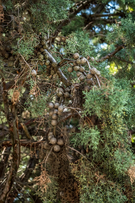 branches, seed, conifer, tree, wood, food, nature, plant, leaf, flora