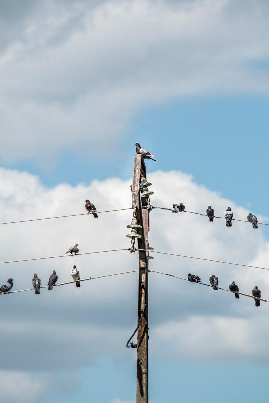 Taube, Vögel, Pylon, Übertragung, Drähte, Strom, Vogel, Energie, Spannung, Kabel