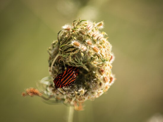 dark red, beetle, weed, wildflower, flower, nature, herb, insect, plant, color