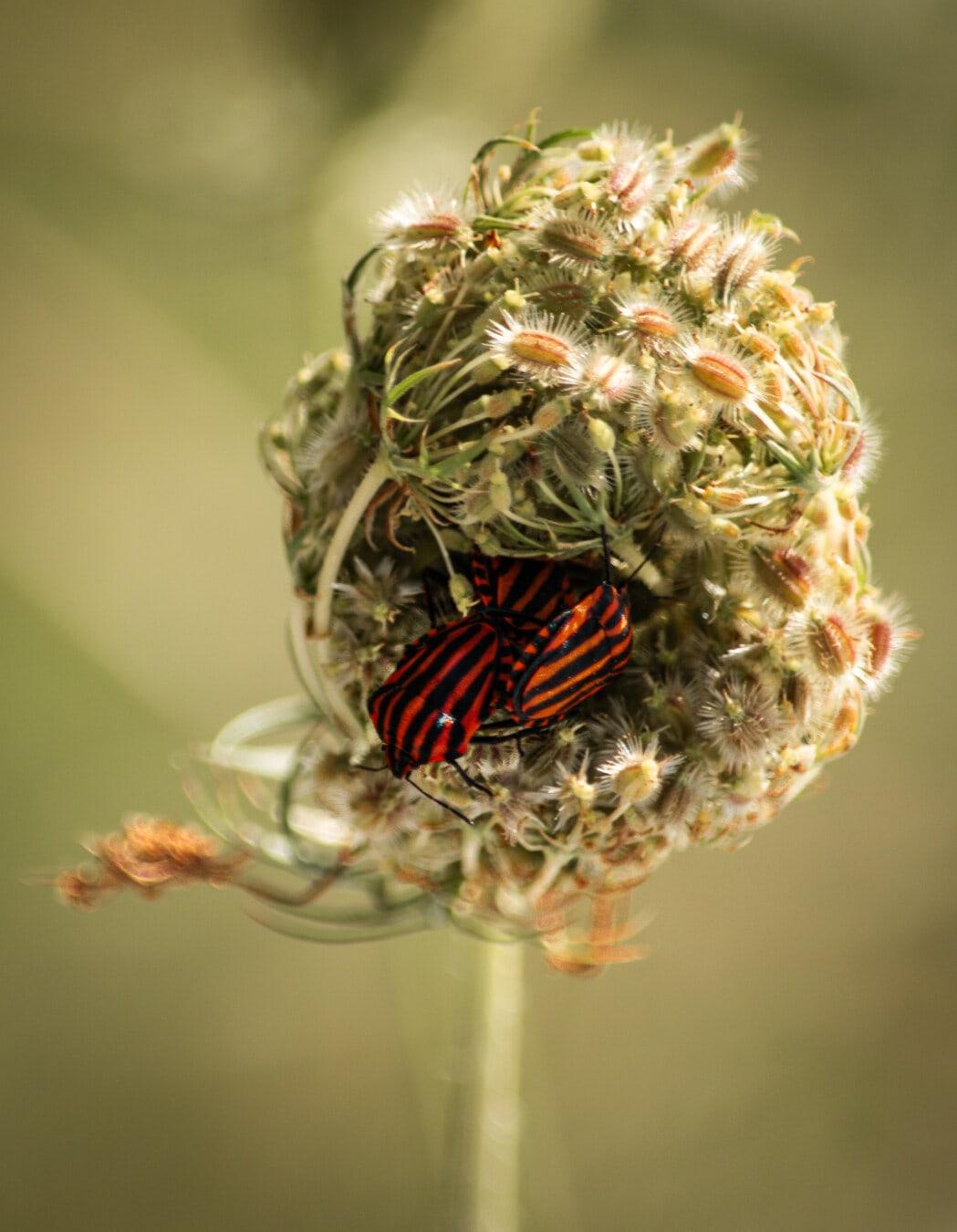 aus nächster Nähe, dunkelrot, Käfer, Tier, Insekt, Natur, Farbe, Blume, Flora, Biologie