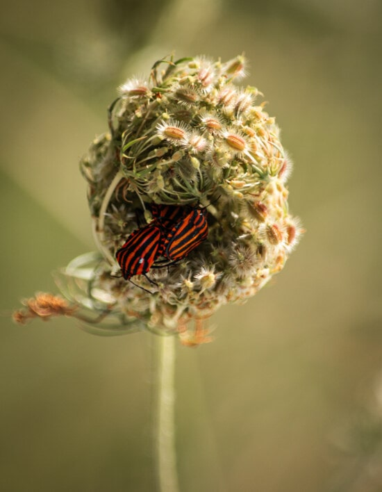 dunkelrot, Schwarz, Käfer, aus nächster Nähe, Insekt, Wildblumen, Blume, Flora, Kraut, Anlage