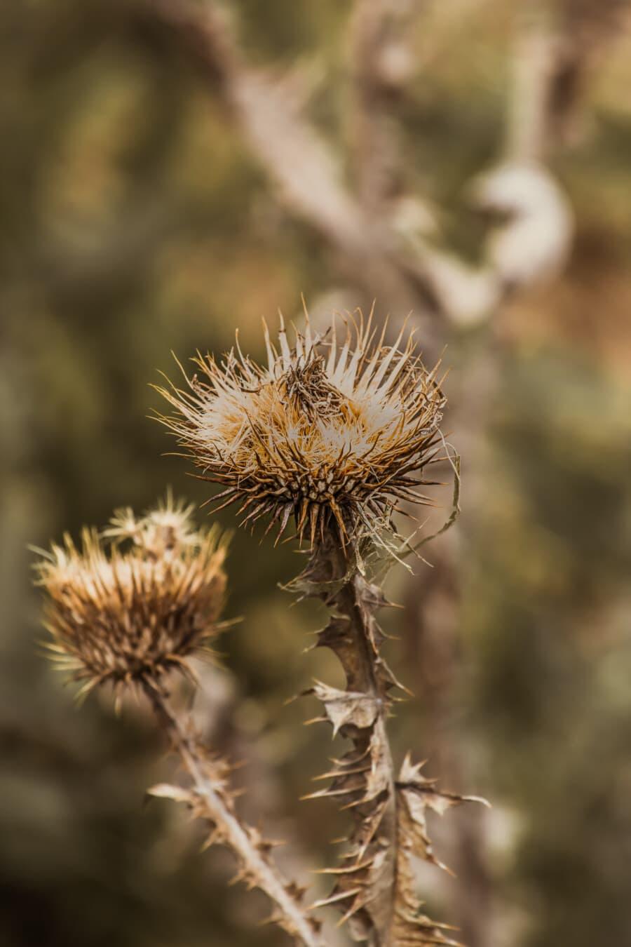 sec, herbe, Spike, mauvaises herbes, fermer, semences, épine, à l'extérieur, plante, tranchant
