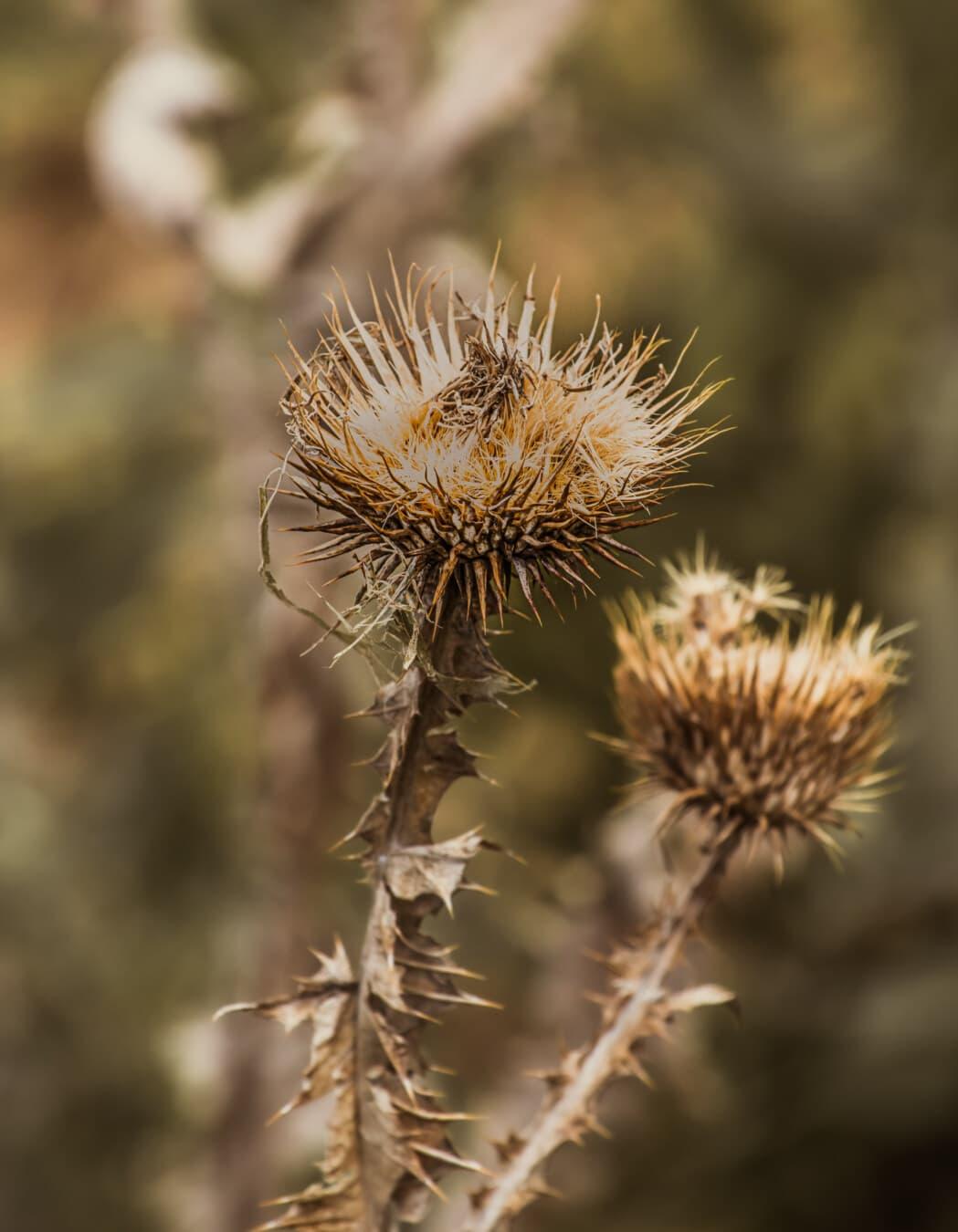 Unkraut, Trockenzeit, scharfe, aus nächster Nähe, trocken, im freien, Natur, Anlage, Flora, Sommer