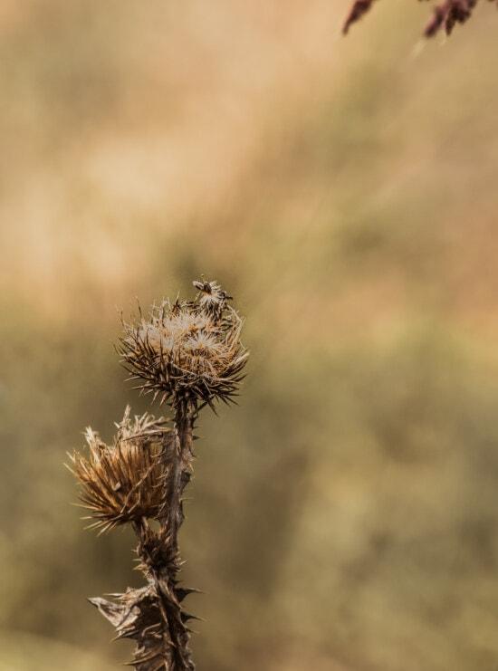 Silybum marianum, fleur, sec, tranchant, herbe, nature, plante, à l'extérieur, herbe, mauvaises herbes