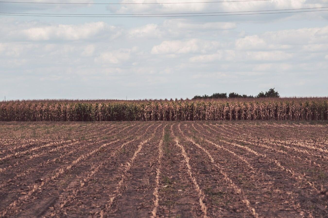 Trockenzeit, Sommersaison, Mais, Kornfeld, Harvest, Landwirtschaft, des ländlichen Raums, Boden, Feld, Landschaft