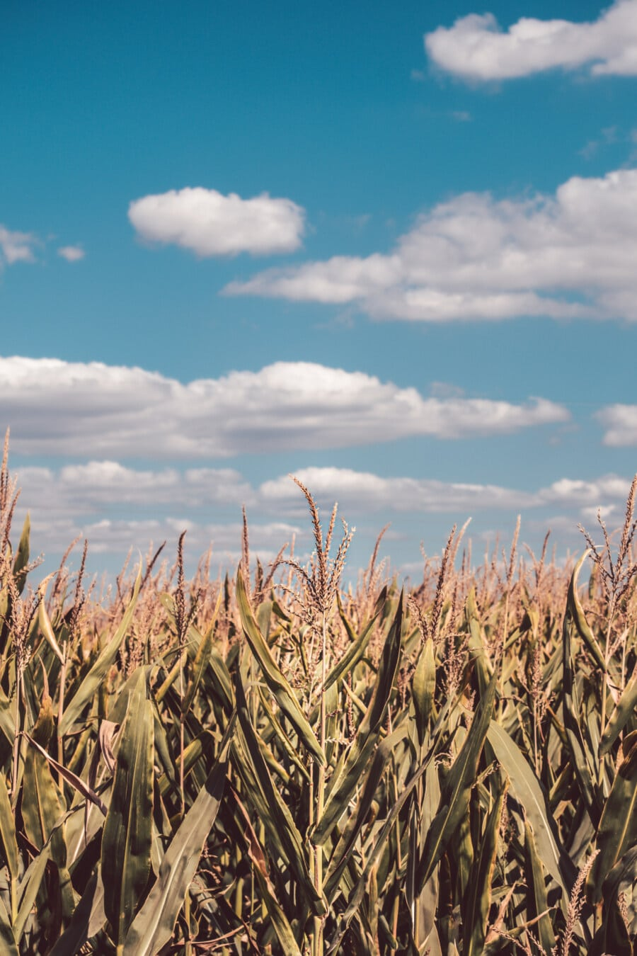 cornfield, corn, agricultural, field, agriculture, farmland, farming, farm, rural, cereal