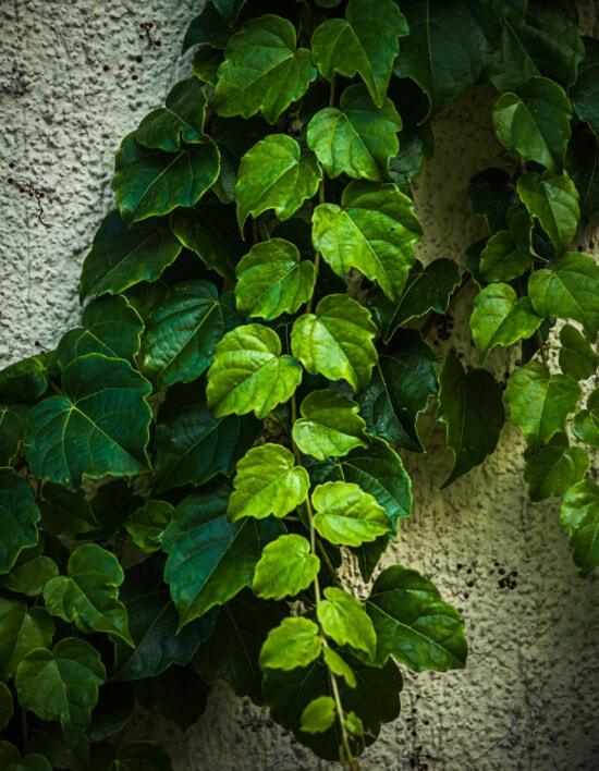 green leaves, branchlet, climbing, herb, leaf, leaves, flora, ivy, tree, plant