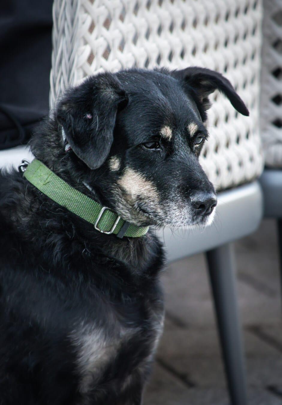 vert, laisse, collier, domestique, chien de berger, chien de chasse, ami (e), chien, chien d'arrêt, portrait