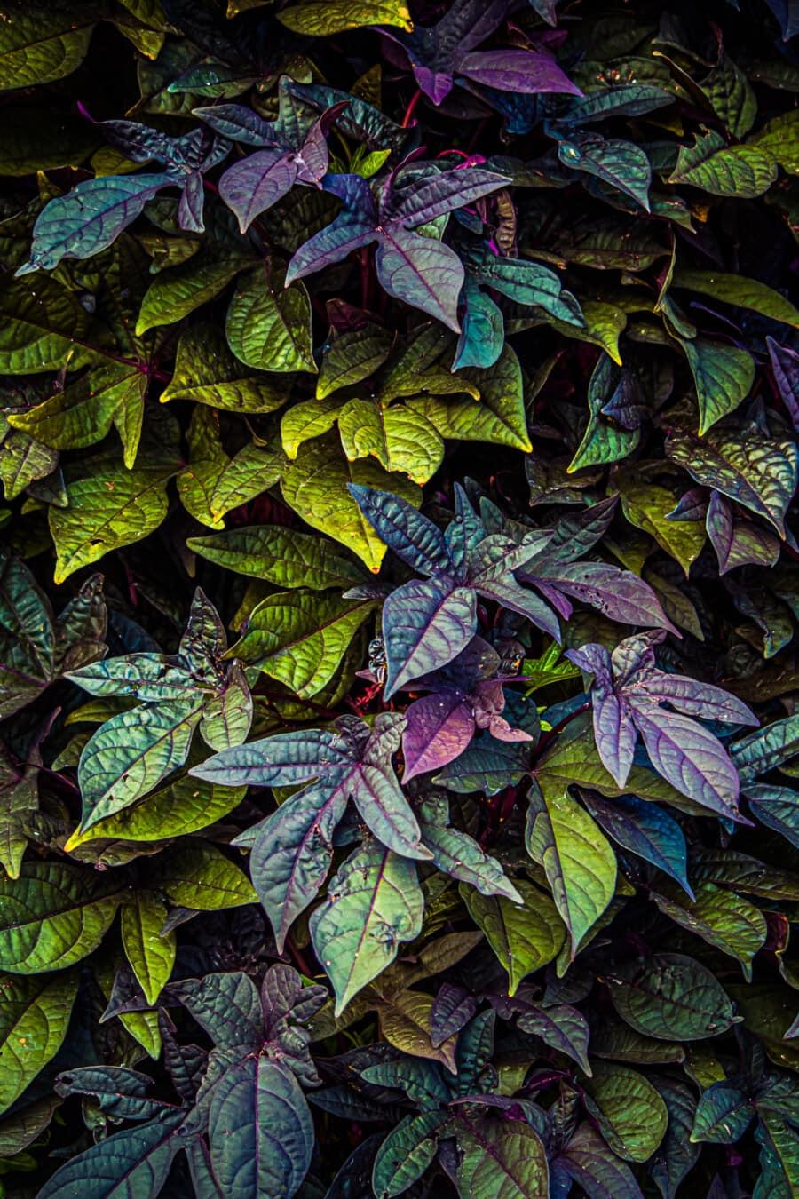 fluoreszierende, bunte, Blätter, Fackel, Geäst, Strauch, violett, grünlich gelb, Textur, Blatt