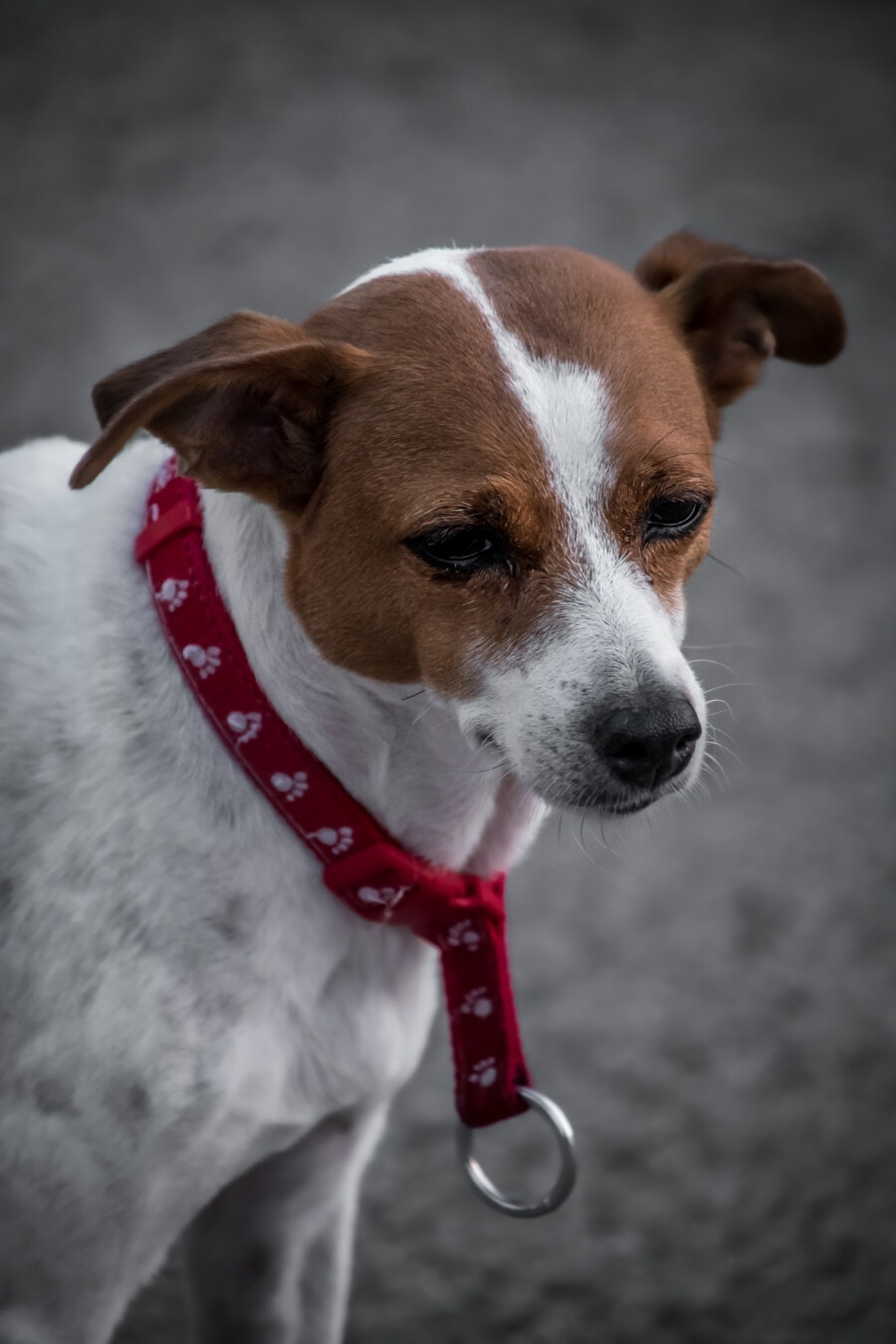 white, light brown, dog, small, reddish, collar, puppy, pet, funny, animal