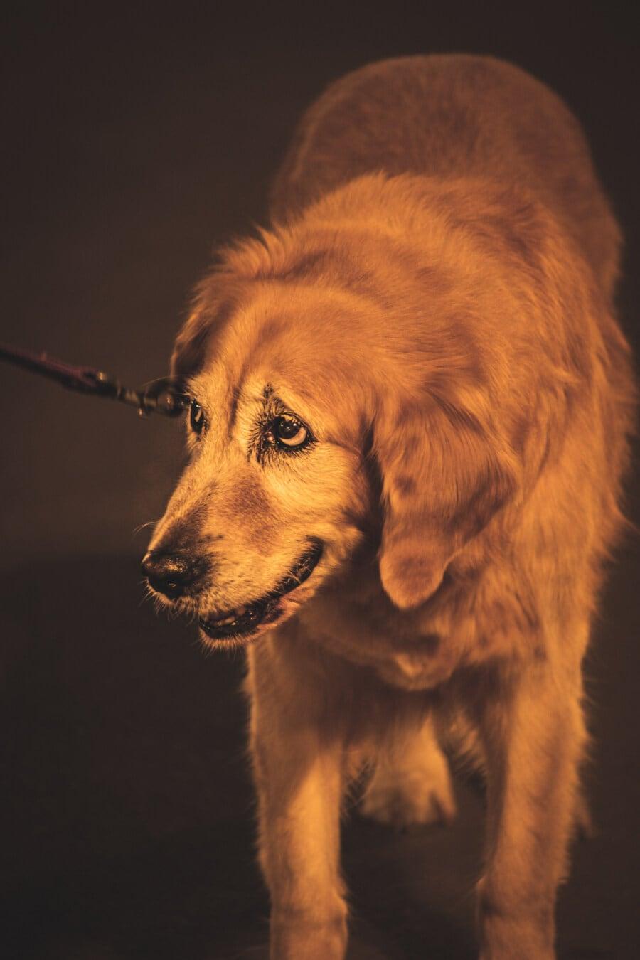 dog, old, walking, evening, cute, puppy, pet, retriever, breed, hunting dog