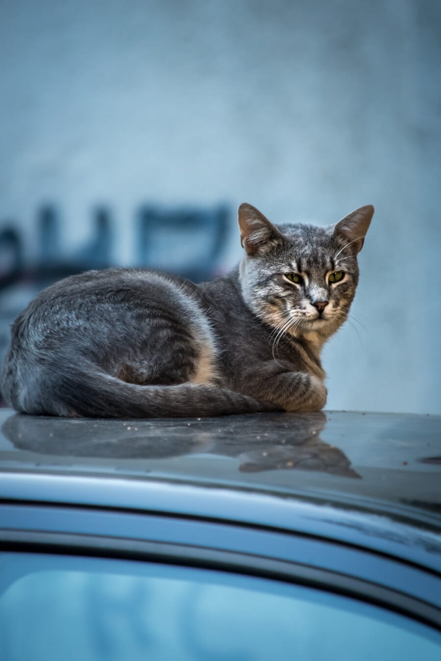 domestic cat, tabby cat, grey, laying on, car, kitty, pet, cute, cat, eye